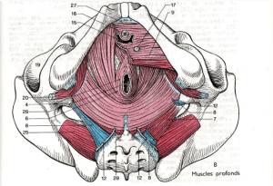 muscles-profonds