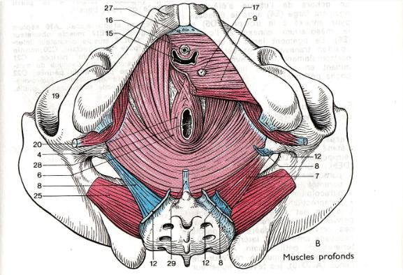Neurologie le tonus musculaire et ses troubles 2016 for Interieur du vagin